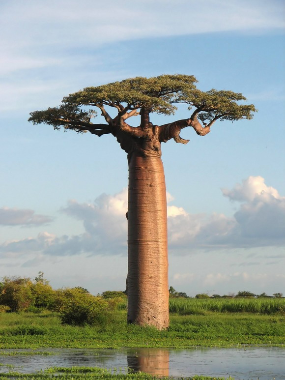 Landmark Avenue of the Baobabs